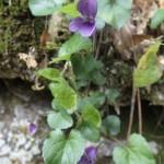 Violette en fleurs au bord du ruisseau d'Audin avant la descente d'initiation au canyoning près de Nice
