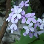 Fleur du vallon de la Carleva en canyoning extrême près de Nice